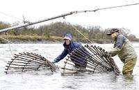 アラレガコ 伝統エバ漁 永平寺町 生息数調査始まる