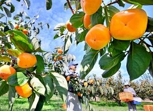 特産「越前柿」の収穫が最…