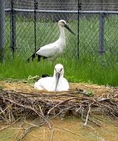 巣に入れた直後から有精卵を温めるふっくん(手前)、その様子を見守るさっちゃん=10日、福井県越前市(県提供)