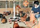 卵よく産み肉おいしい地鶏を開発