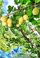 たわわに実り次々と収穫されるギンナン=9月18日、福井県永平寺町松岡志比堺
