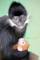 一般公開されているフランソワルトンの赤ちゃん=福井県の鯖江市西山動物園