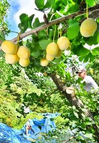秋の味覚「ギンナン」収穫始まる