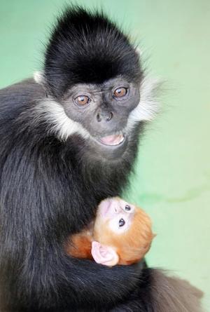 サルの赤ちゃん誕生、目くりくり