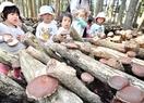 越前町の肉厚シイタケ、収穫体験