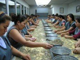 手作業での不良豆選別(エルサルバドル)