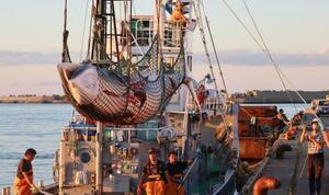 網走港で水揚げされるミンククジラ=16日午後、北海道網走市