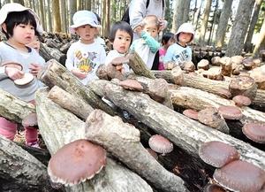 シイタケ採りを楽しむ園児たち=4月4日、福井県越前町下河原