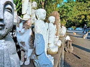 御誕生寺の境内に放し飼いされている猫=2015年9月、福井県越前市
