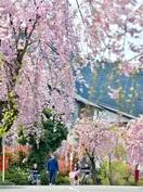 近くの並木で一息 一桜一絵2020ふくい