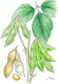 【レッツ!植物楽】 ダイズ(大豆) マメ科 畑の肉と呼ばれる
