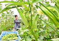オクラ 食べ頃ざんしょ 福井の農家収穫に汗