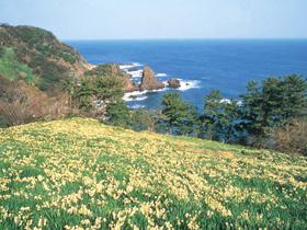 越前海岸沿いの山に咲き乱れる冬の風物詩