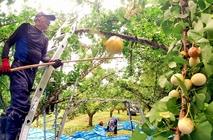 永平寺町でギンナン収穫始まる