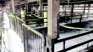 防疫措置が行われた豚舎内=8月1日午前5時ごろ、福井県越前市内(福井県提供)