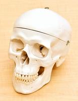 医療関係者らが使う頭蓋骨の模型