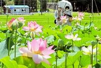 夏の風物詩、花ハス咲き誇る