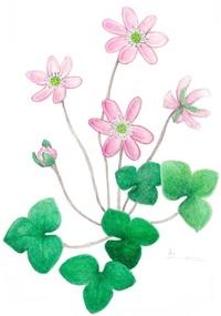 【レッツ!植物楽】ユキワリソウ(雪割草) キンポウゲ科 花弁に見える萼(がく)片