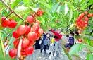 サクランボじゅわっ初夏の味 越前市の農園あす営…