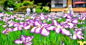あでやかな花が咲き乱れるハナショウブ園=6月9日、福井県福井市田ノ谷町の大安禅寺