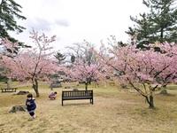 【はぐカフェ 福井の子育て紙面で応援】  親子で行こう! マイ桜スポット